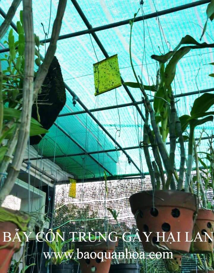 Bay-con-trung-gay-hai-hoa-lan-Hue 3