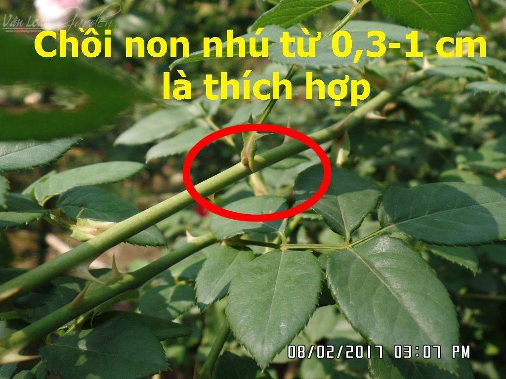 Kich-ra-re-giam-canh-hong-Homoril-Israel 4